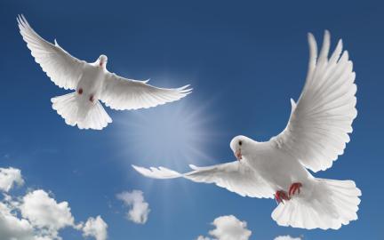 doves-white-bird-flight-3459-background-wallpapers